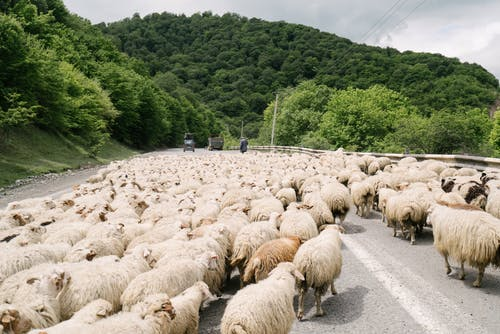 Herd of Sheep on Gray Concrete Road