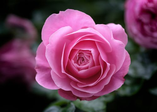 Pink Rose in Bloom