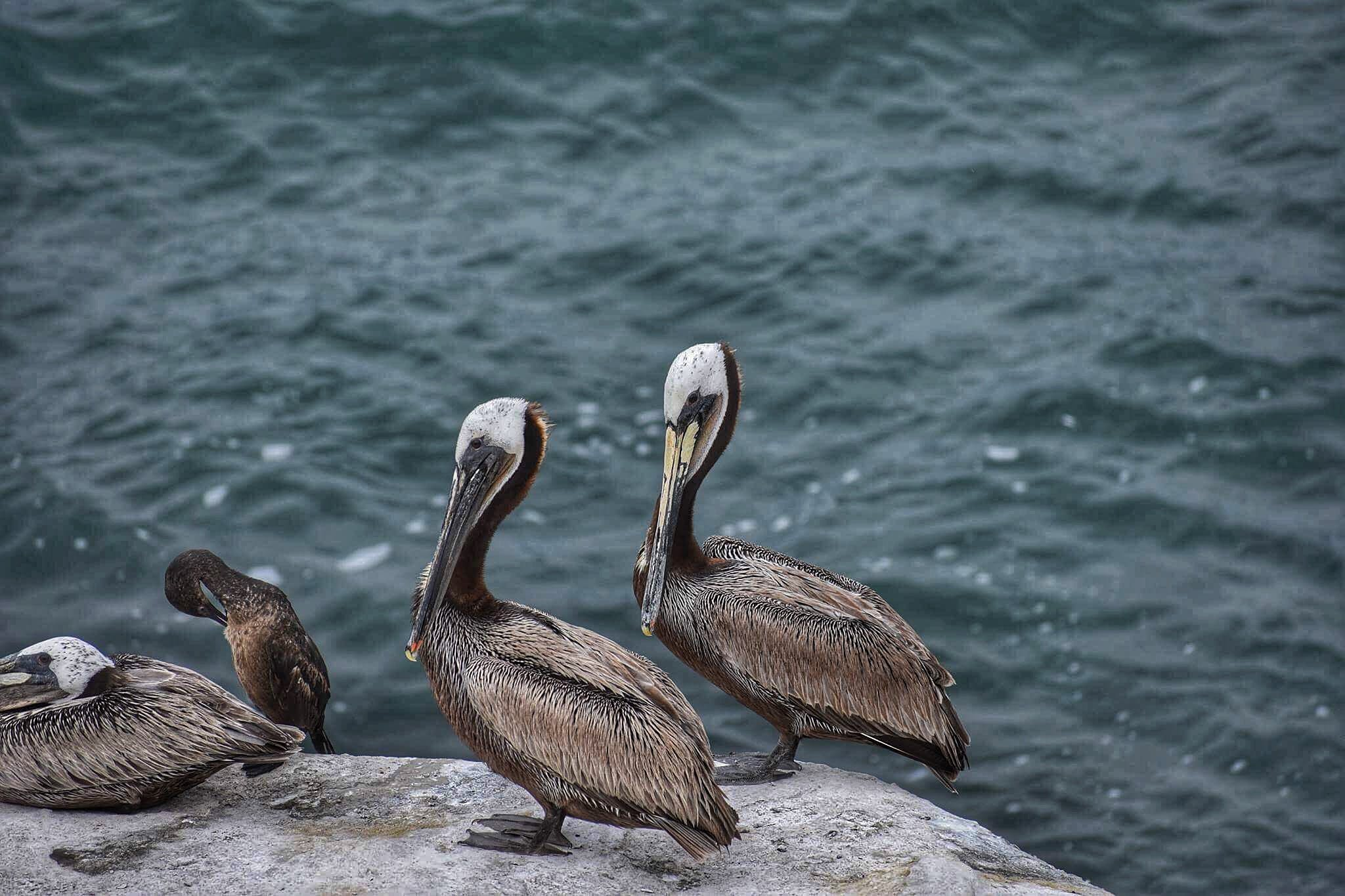 Four Brown Birds Standing on Cliff