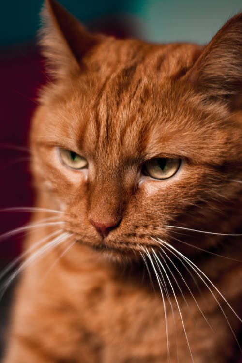 Calm fluffy red cat with yellow eyes and long white moustaches looking away against blurred background