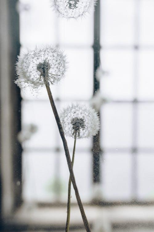 Darmowe zdjęcie z galerii z dmuchawiec, florets, łodygi