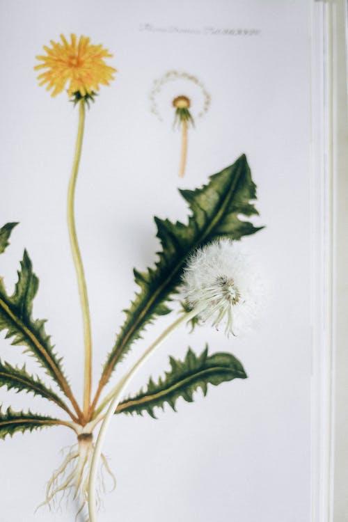 Darmowe zdjęcie z galerii z dmuchawiec, florets, grafika