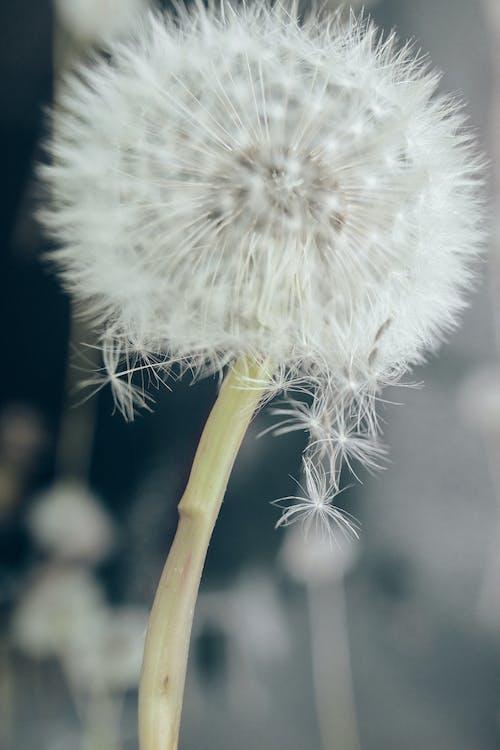 Darmowe zdjęcie z galerii z dmuchawiec, florets, fotografia kwiatowa