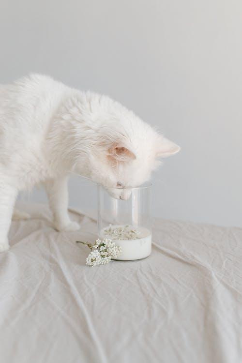 Fotobanka sbezplatnými fotkami na tému biela mačka, biele kvety, citlivosť