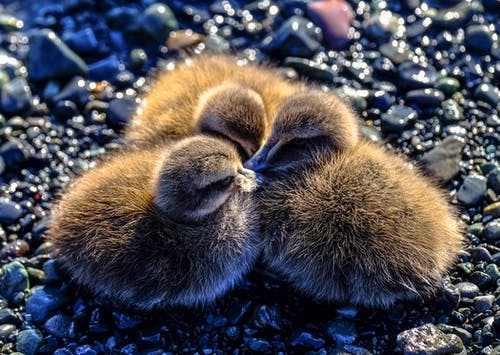 Three Brown Ducklings on Ground