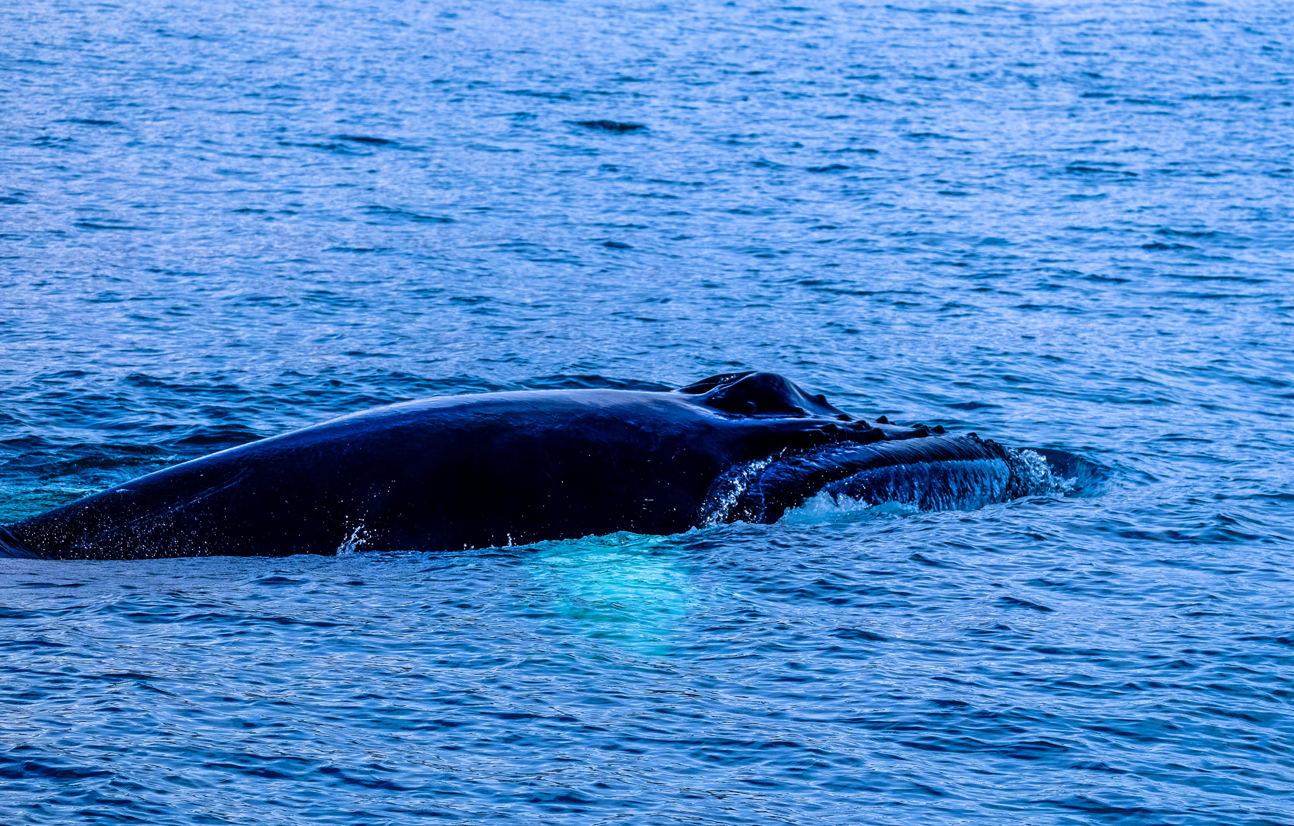 Black Whale in Body of Water