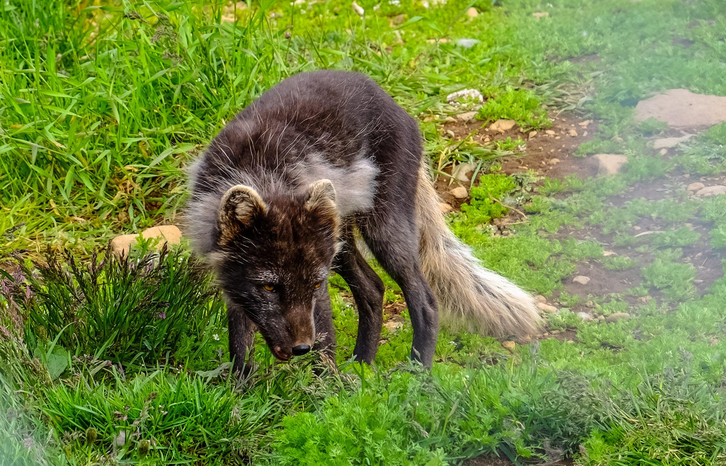 Kostenloses Stock Foto zu canidae, felsen, fuchs, gras