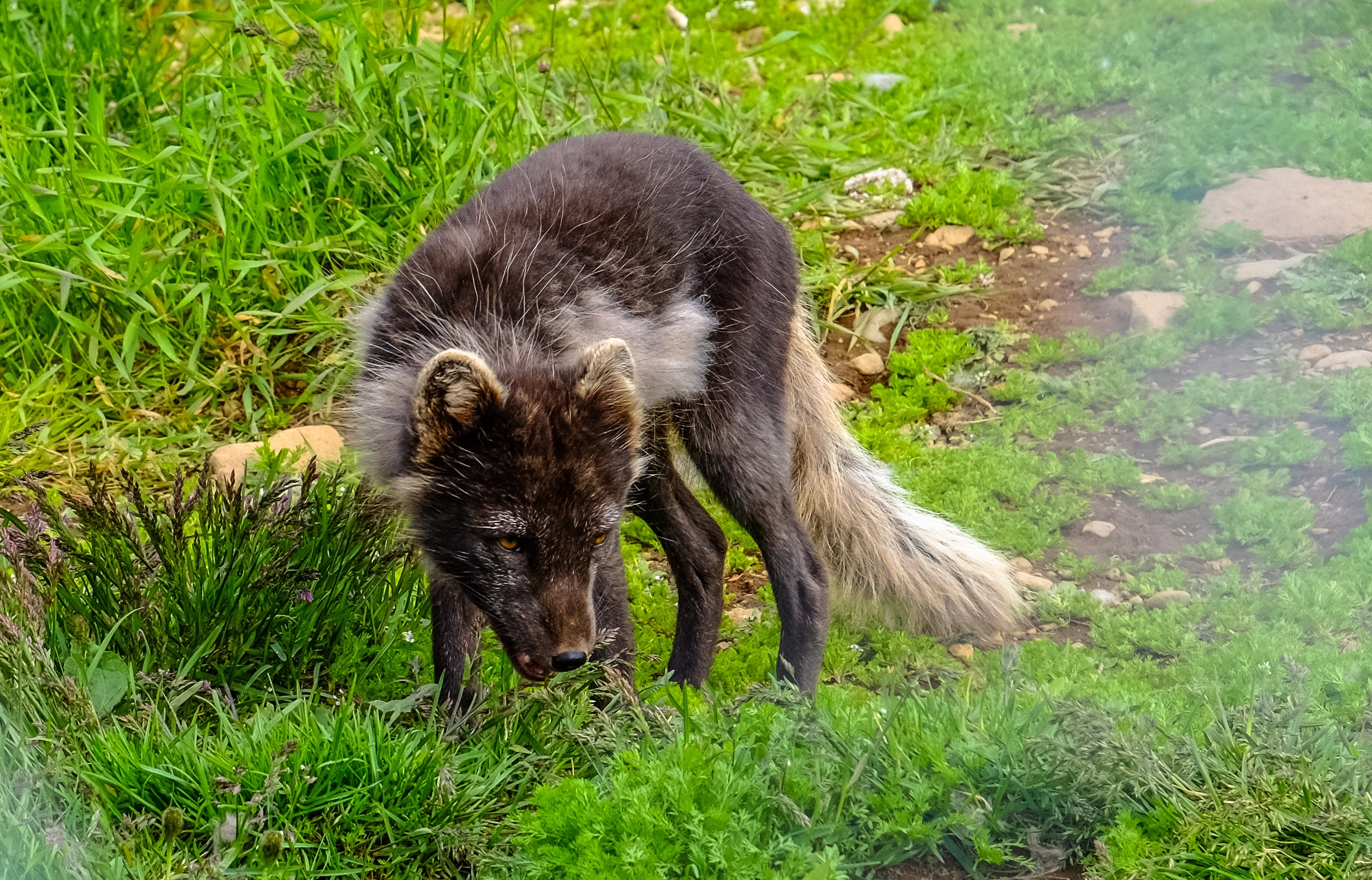 Black and Brown Fox on Grass Field