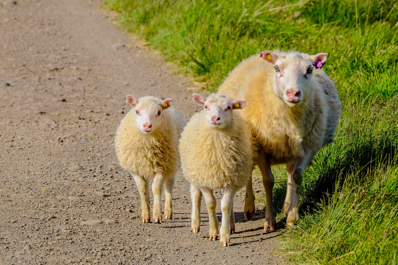 Fotos de stock gratuitas de animal, camino de tierra, césped, Cordero