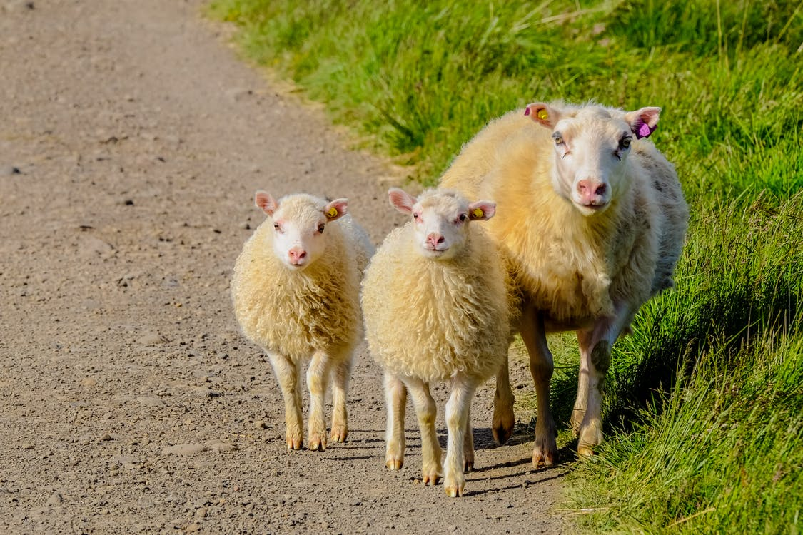 Three White Sheep on Pathway