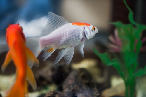 Orange and White Fish in Fish Tank