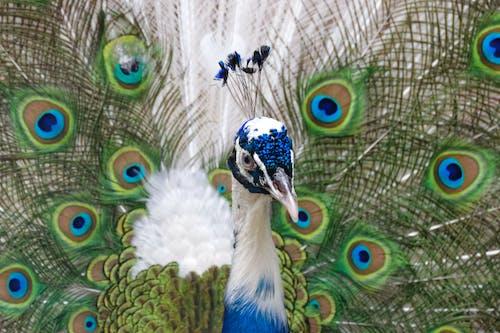 공작, 깃털, 머리의 무료 스톡 사진