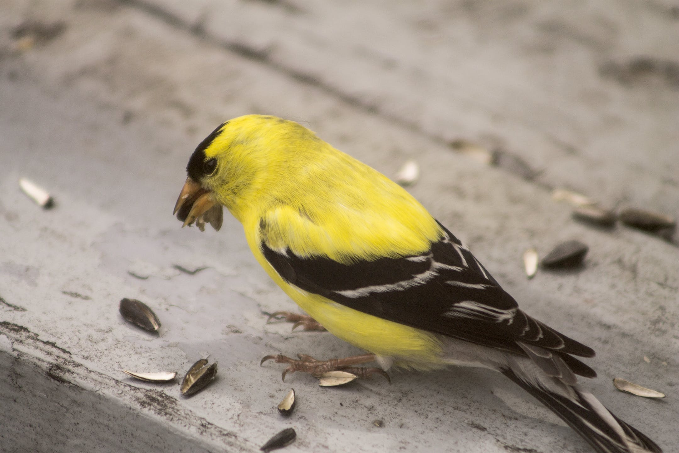 Free stock photo of American Goldfinch, cute, yellow