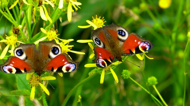 2 Peacock Butterflies Perched on Yellow Flower in Close Up Photography during Daytime
