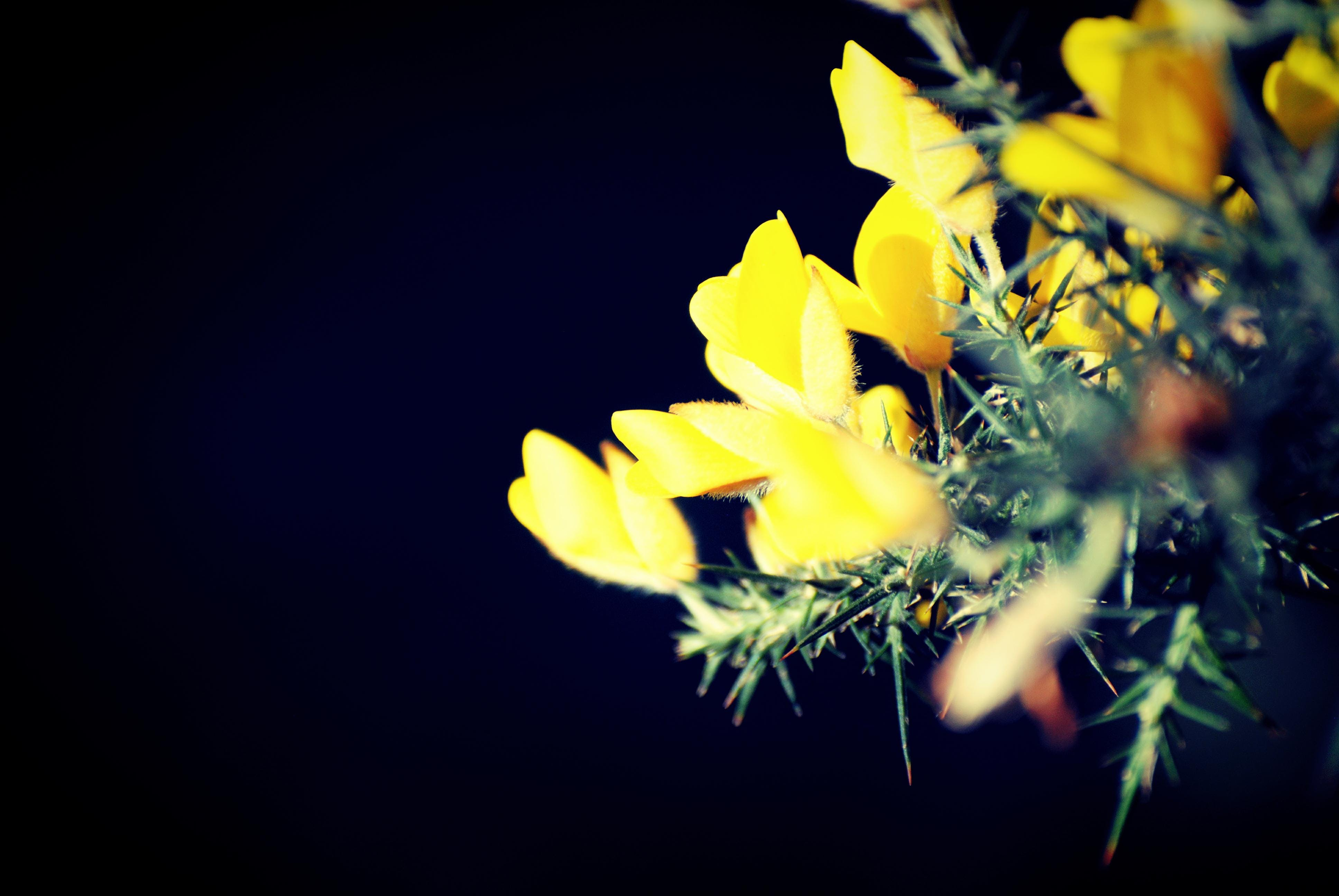 Free stock photo of flowers, yellow, blooms, ginster