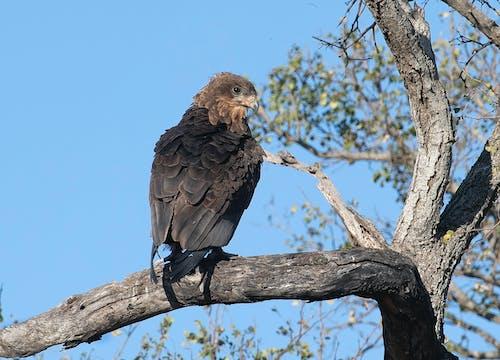 Kostnadsfri bild av bataleur, fågel, juvenilebataleur, vildfågel