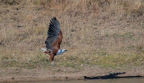 Kostnadsfri bild av fågel, fiskörn, Örn