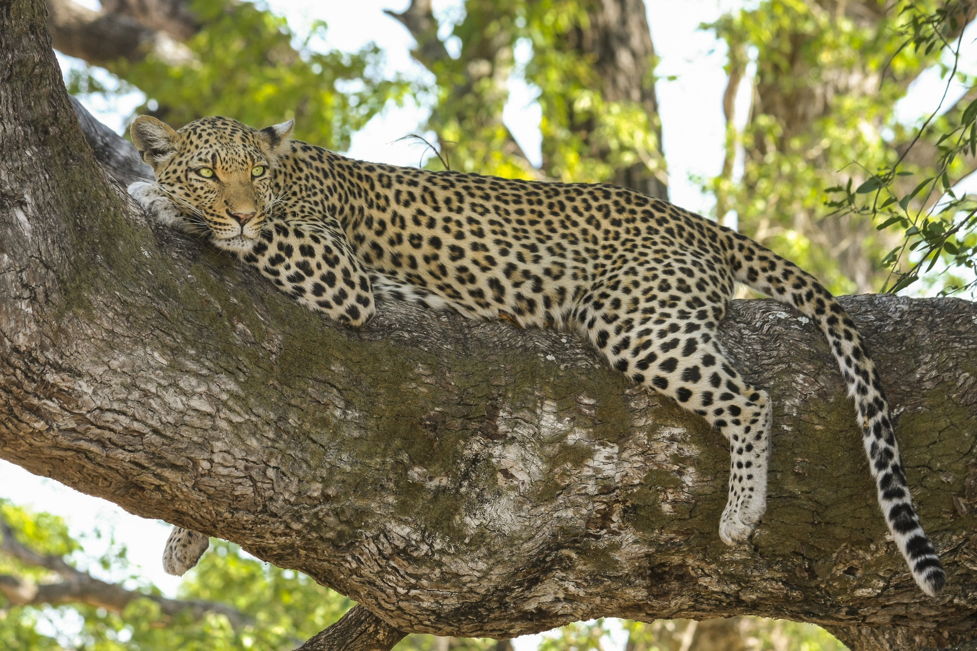 Cheetah Lying on Tree Branch during Day Time