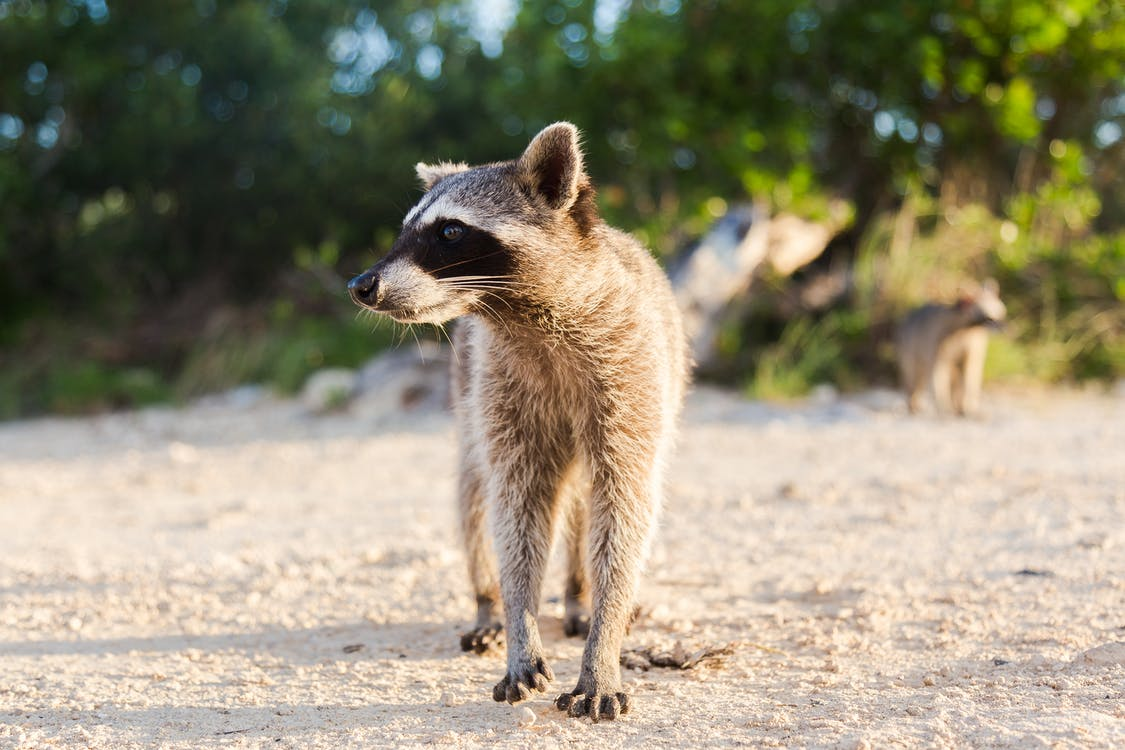 Photo of Raccoon Walking on Sand