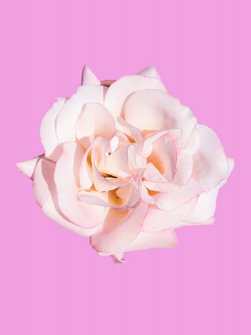 Free stock photo of pink, pink background, rose