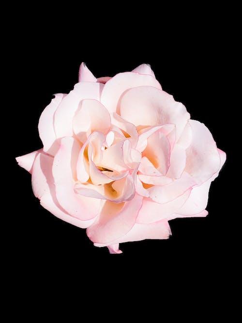 Free stock photo of beautiful flower, black background