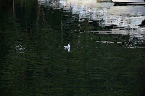 Free stock photo of bird, gull, water reflection