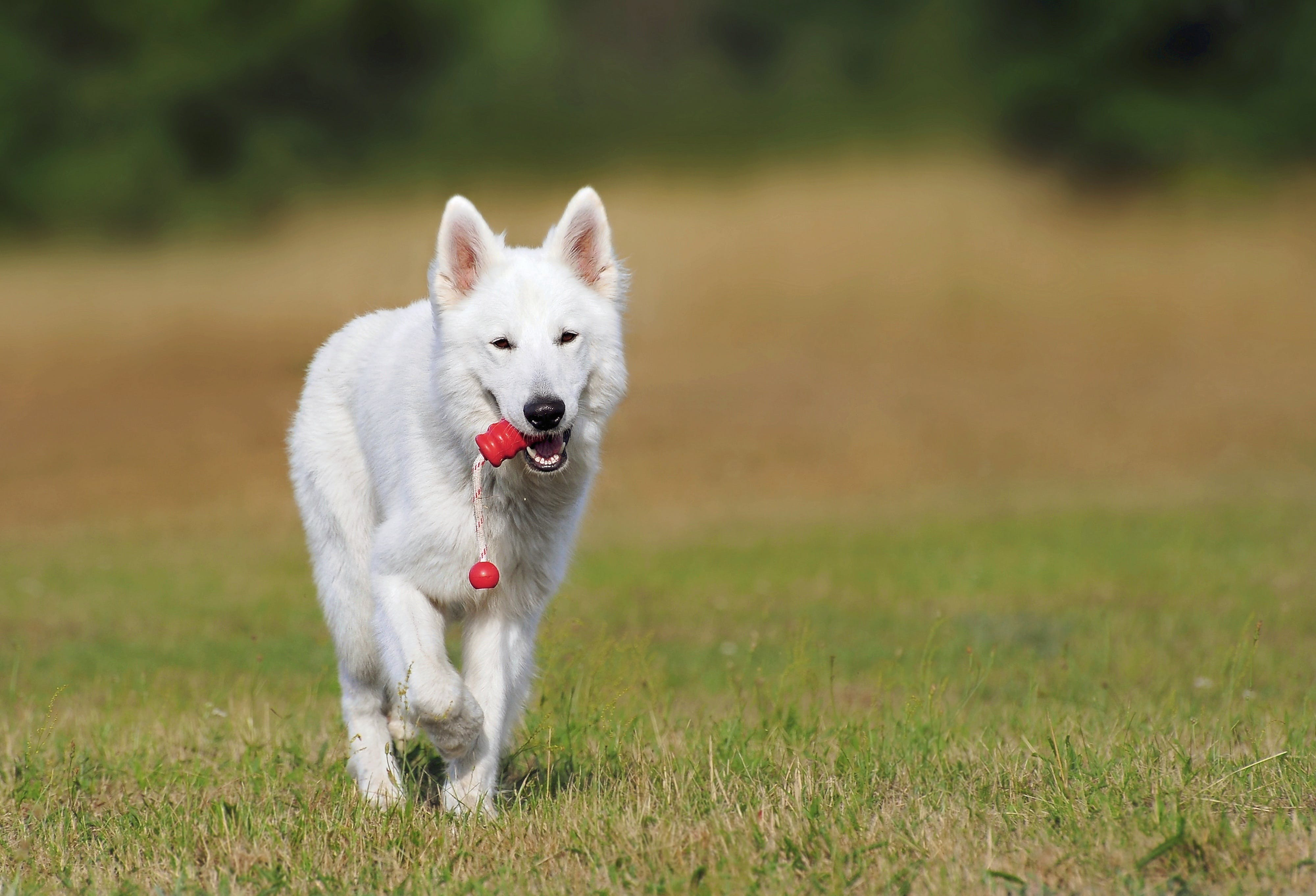White Dog Running over Green Grass