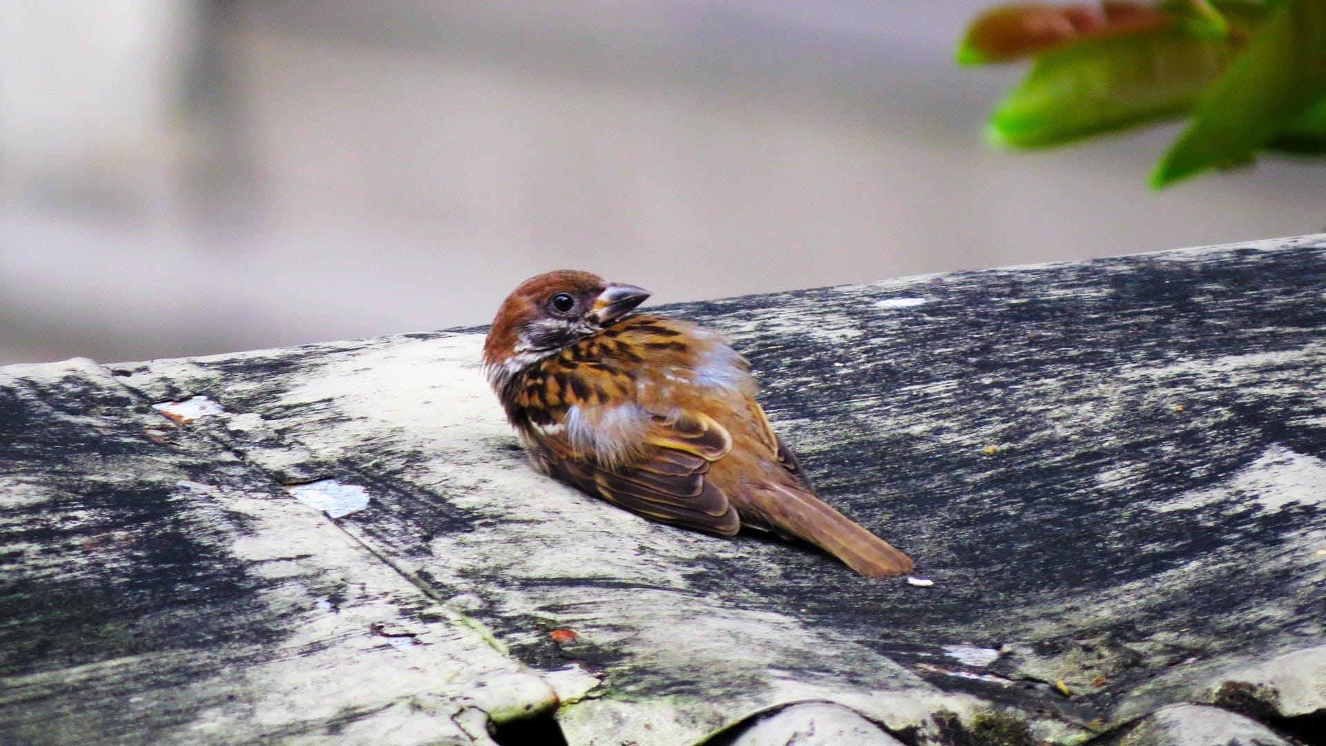Brown House Sparrow