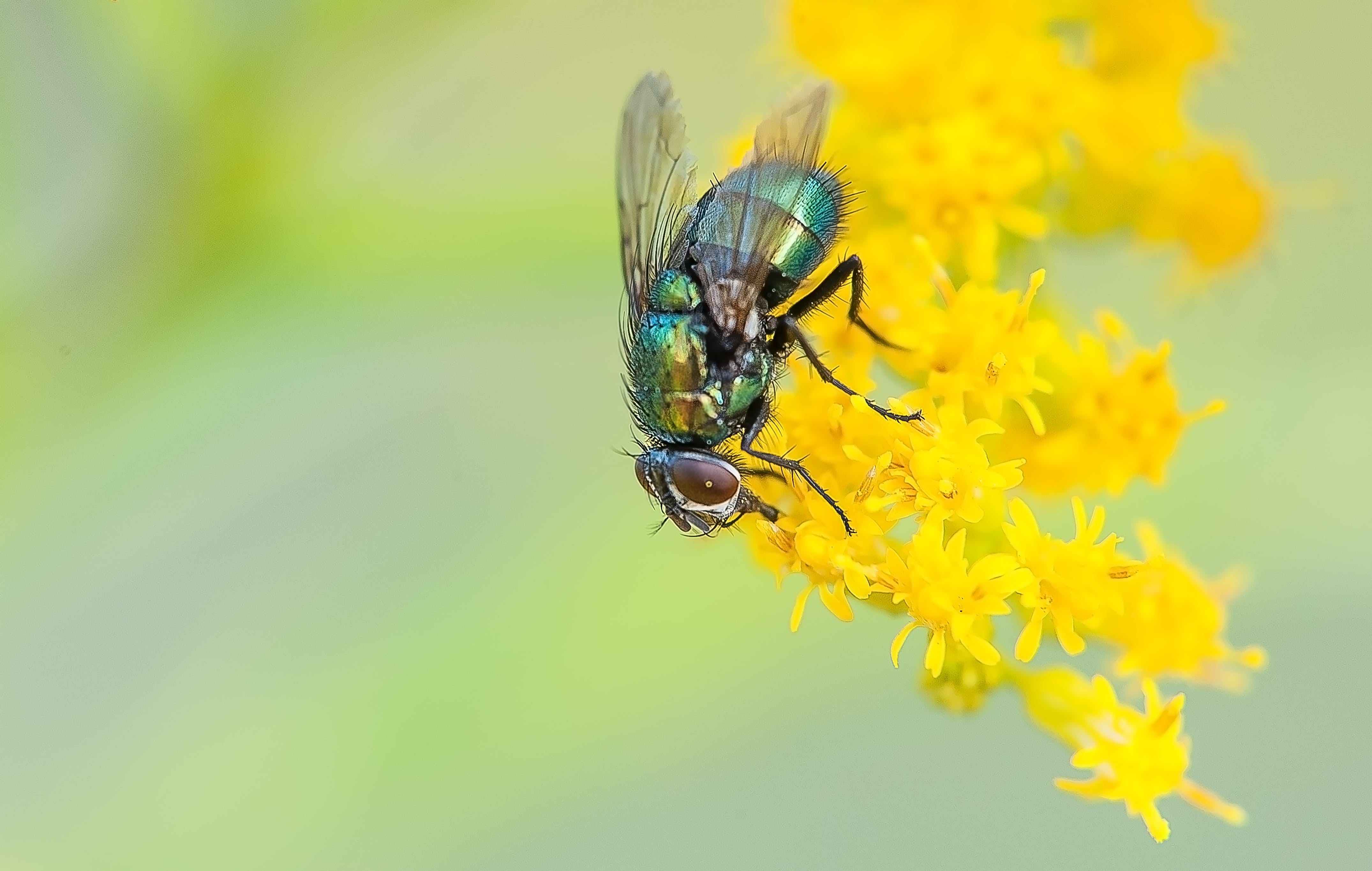 Blue Fly on Yellow Flowers
