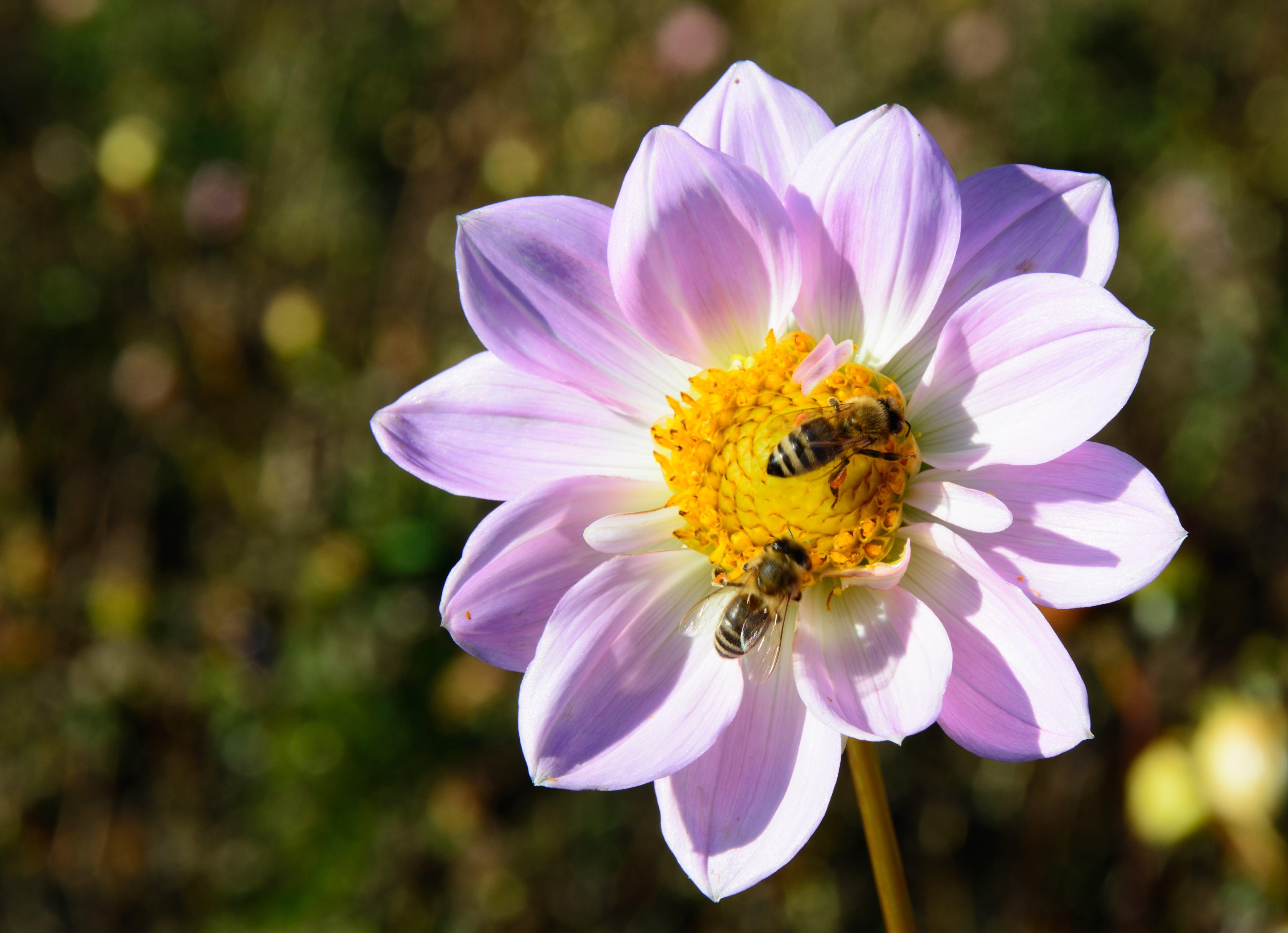 Gratis lagerfoto af bestøvning, bier, blomst, dahlia