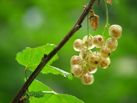Yellow Round Cluster Fruit Close Up Photography