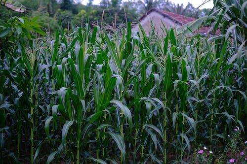 Foto stok gratis Desa, dusun, hijau, kampung