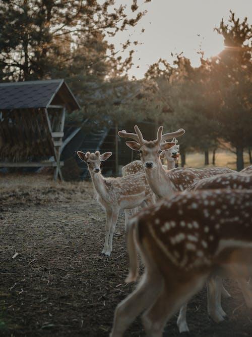 Brown Deers on Field
