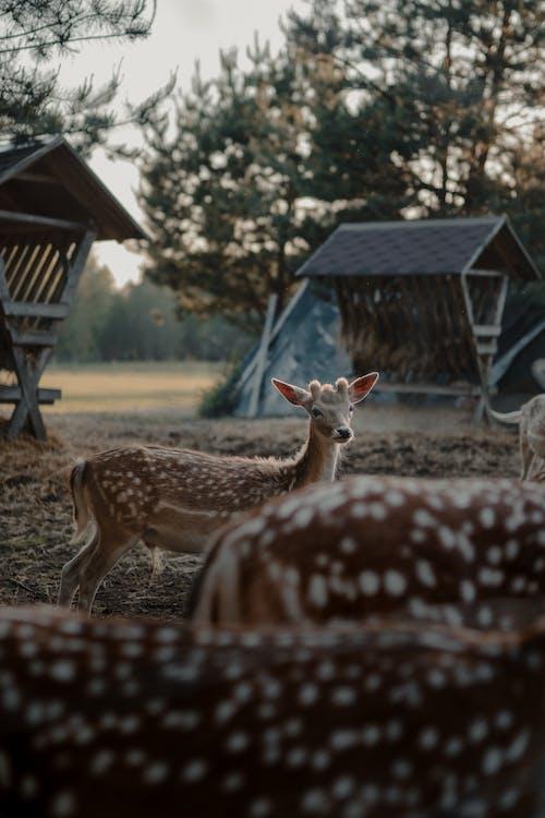คลังภาพถ่ายฟรี ของ กวาง, การถ่ายภาพสัตว์, การเลี้ยงสัตว์, ชนบท