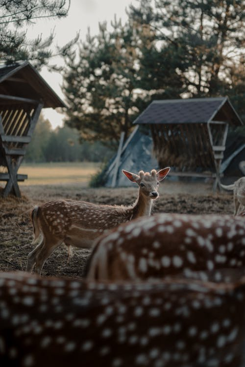 Brown Deer Standing on Brown Grass Field