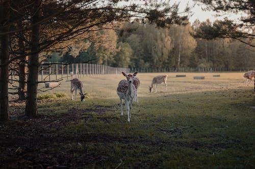 Foto stok gratis beternak hewan, bidang, binatang