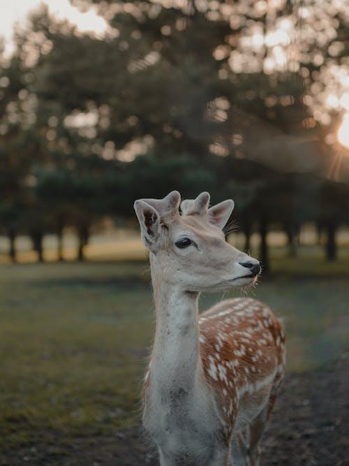 คลังภาพถ่ายฟรี ของ กวาง, การถ่ายภาพสัตว์, การเลี้ยงสัตว์, ความชัดลึก