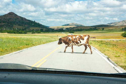 Photo of Cow Crossing the Road
