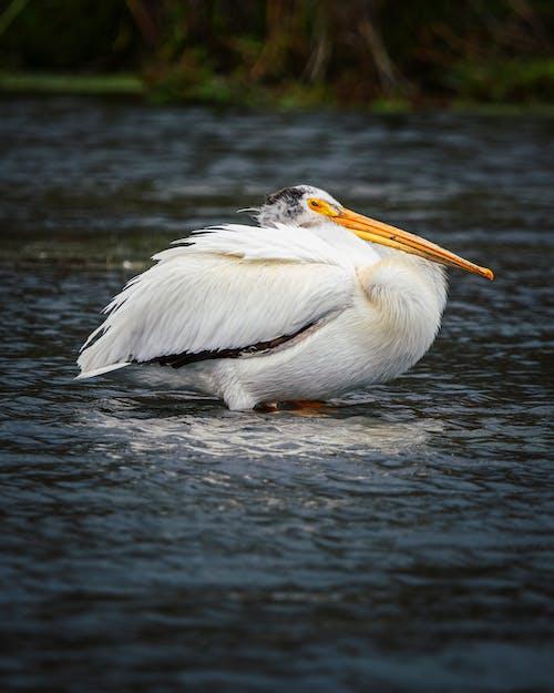 Ilmainen kuvapankkikuva tunnisteilla eläin, höyhen, järvi, joki