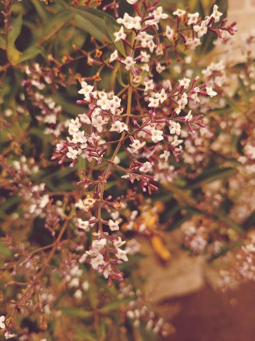 Free stock photo of flores blancas, flores pequeñas