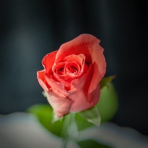 Immagine gratuita di affetto, amore, anniversario, bouquet
