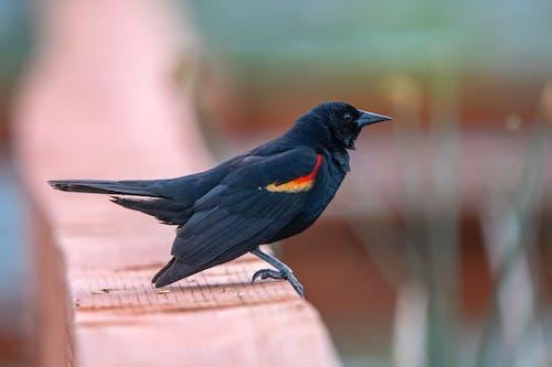 Ilmainen kuvapankkikuva tunnisteilla lintu, punainen siivekäs musta lintu