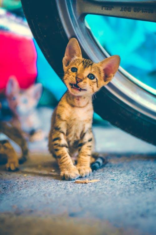 Free stock photo of acute, cute animal, cute cat, cute pet