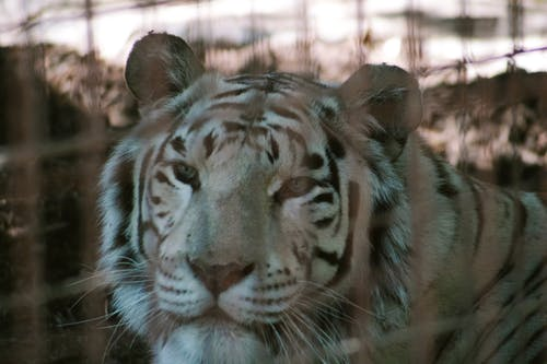 White Bengal Tiger in Cage