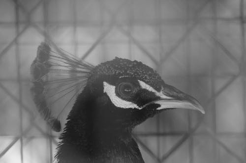 Black and White Peacock in Cage