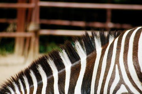 Black and White Zebra Animal