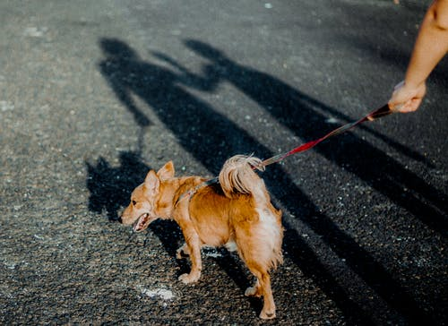 Brown Short Coated Small Dog on Black Asphalt Road