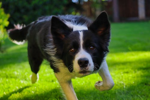 Shallow Focus Photo of Border Collie