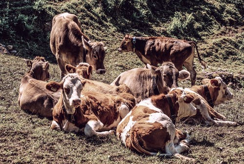 Herd of Brown Cows on Grass Field