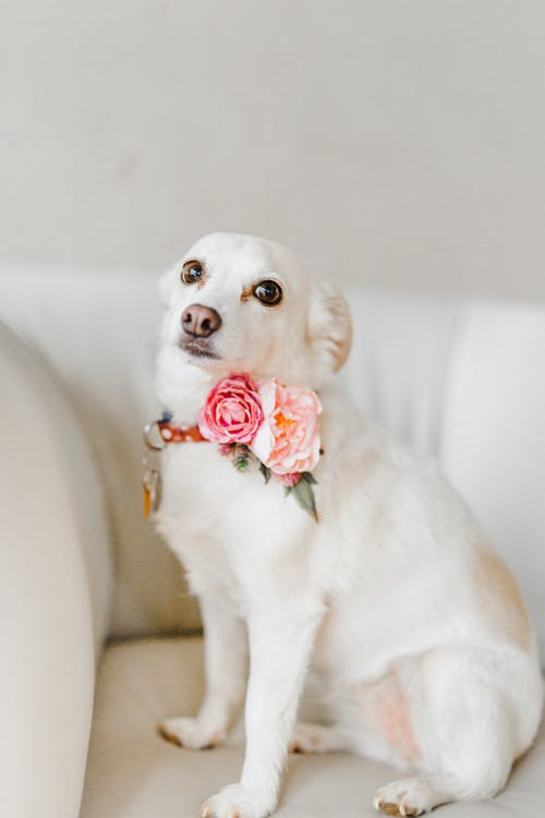 Photo Of White Dog Sitting On Couch